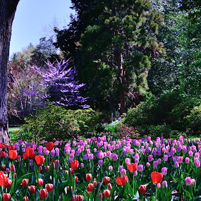 In the Pink...And Red by Ann Carper - Flowers Flower Gardens ( tulips; flowers; gardens; spring,  )