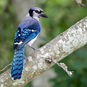 Blue Jay by Shutter Bay Photography - Animals Birds ( bird, nature, songbird, blue jay, birds )
