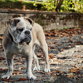 Old bulldog  by Todd Reynolds - Animals - Dogs Portraits