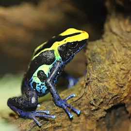 Dendrobate bicolor by Gérard CHATENET - Animals Amphibians