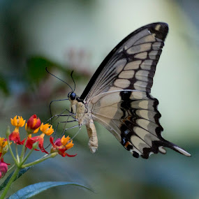 Citrus swallowtail by Pietro Ebner - Animals Insects & Spiders ( butterfly, citrus, tropical, demodocus, papilio,  )