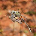 Bladetail