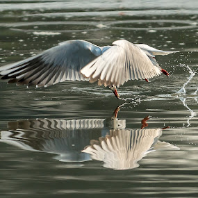 Black-headed Gull by Ken Cheung - Animals Birds ( mirror, gull, fly, black-headed gull, catch, reflect )