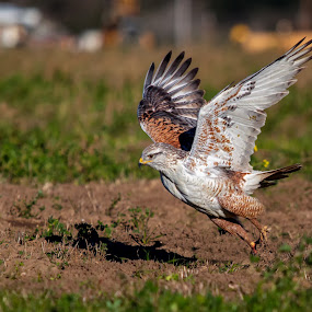 Ferruginous Hawk, Richmond Rd, morgan hill, California by Alex Sam - Animals Birds ( bird, ferruginous hawk, richmond rd, california, morgan hill, in flight, wings span, bird in flight, hawk )