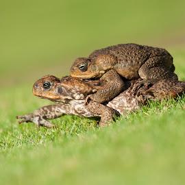 Taking a ride by Brian Perkes - Animals Amphibians