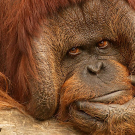 Ich denke also bin ich by Elke Krone - Animals Other ( gesicht, augen, orang uthan, blick, waldmensch, tierportrait, affenportrait,  )
