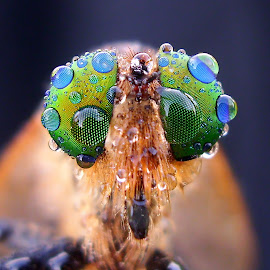 Robber's Eyes by Iwan Ramawan - Animals Insects & Spiders