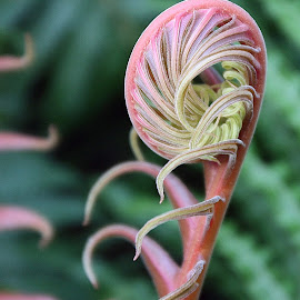 Unfurling by Eva Pastor - Nature Up Close Other plants ( fern, gren, fiddlehead, new life )