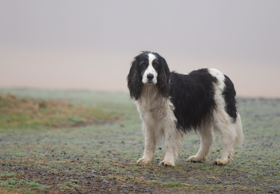 Dog in Fog by Jack Nevitt - Animals - Dogs Portraits ( farm, shaggy, fog, dog, standing )