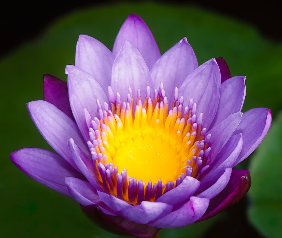 PURPLE LOTUS BLOSSOM by Johan Joe - Nature Up Close Flowers - 2011-2013