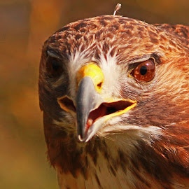 Red Tail Hawk. by Thomas Thain - Animals Birds