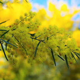 by Carolyn Lawson - Flowers Tree Blossoms (  )