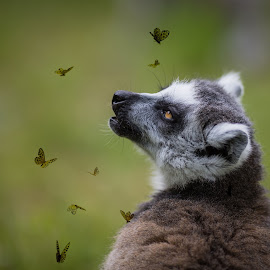 So many butterflies by Eva Lechner - Digital Art Animals ( butterflies, fine art, lemur catta, close-up, portrait )