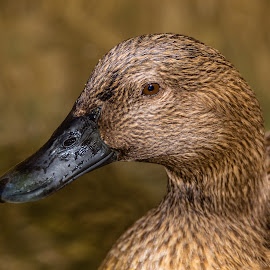 Mallard by Dave Lipchen - Animals Birds ( mallard )