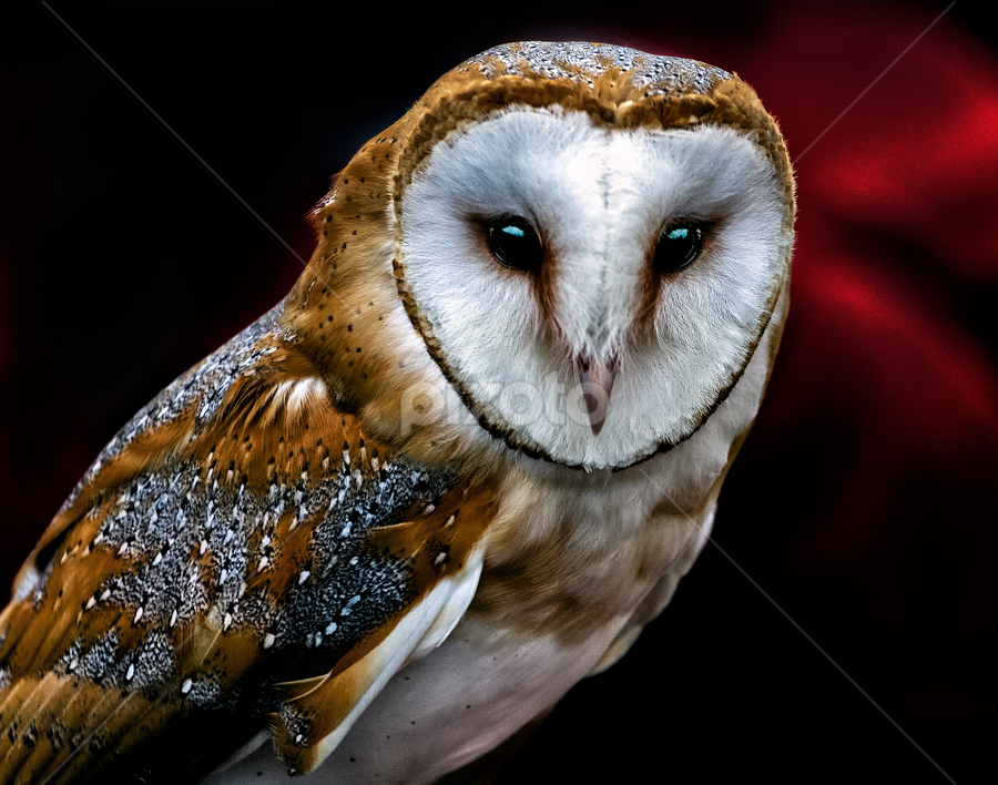 Barn owl by Peter Greenhalgh - Animals Birds ( bird, black background, barn owl, beak, bright eyes, close-up, tyto alba )