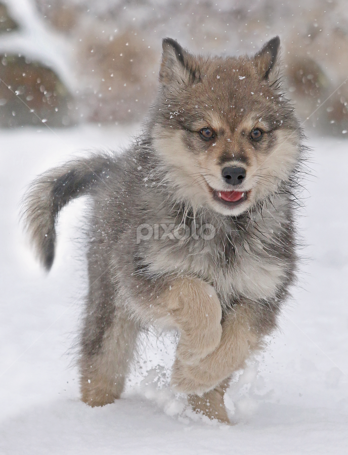 Snowfall by Mia Ikonen - Animals - Dogs Puppies ( finnish lapphund, finland, fun, cute, running, canine, winter, pet, happy, snow, action, adorable, puppy, dog, mia ikonen )