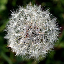 Dandelion Clock by Chrissie Barrow - Nature Up Close Other plants ( plant, wild, pattern, dandelion, nature, clock, green, white, seeds, bokeh, closeup, seedhead )