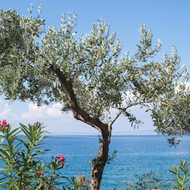Olive tree on the beach by Deyan Georgiev - Nature Up Close Trees & Bushes ( plant, ocean, travel, beach, coastline, landscape, coast, aegean, olive, sun, island, sky, tree, nature, mediterranean, idyllic, olives, grove, water, greek, green, greece, agriculture, sea, tourism, seascape, relaxation, sunlight, cyprus, field, organic, vacation, bay, blue, background, outdoor, trees, summer, branch, cloud, view, day )