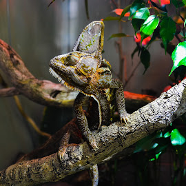 Still as a statue by Manish Kaushal - Animals Reptiles ( wood color reptile, reptiles, still, reptile, chameleon )