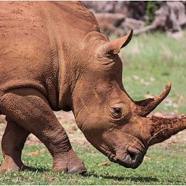 Rhino by Dirk Luus - Animals Other Mammals ( wildlife, horn, rhino, mammal, animal,  )