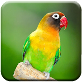 Download  Lovebird Singing  Apk