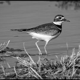 Killdeer by Dave Lipchen - Black & White Animals ( killdeer )