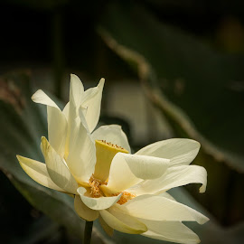 Rise Up by Pennye Thurmond - Flowers Flowers in the Wild ( white, light, dark, lotus, flower,  )