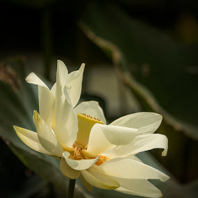Rise Up by Pennye Thurmond - Flowers Flowers in the Wild ( white, light, dark, lotus, flower,  )