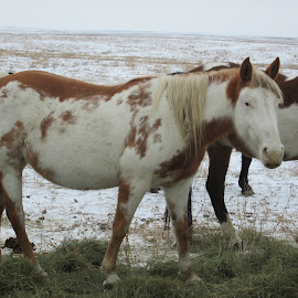 Painted Mustang by Nancy Whiting - Animals Horses ( black hills wild horse sanctuary, black hills wild horse sanctuary - ustang, wild horses -  black hills wild horse sanctuary, black hills wild horse sanctuary - iram, <ustang -  black hills wild horse sanctuary,  )