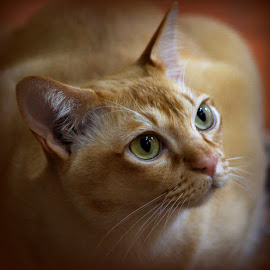 Red Burmese Cat by Caroline Beaumont - Animals - Cats Portraits ( red burmese cat )