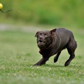 Kelpie by Ronnie Bergström - Animals - Dogs Running ( sweden, ball, kelpie, grass, green, run, landscape, dog, running )