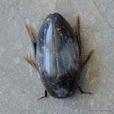 water scavenger beetles