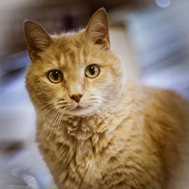 I'm all Eyes by Myra Brizendine Wilson - Animals - Cats Portraits ( cats, cat, pet, pets, yellow cat, feline )