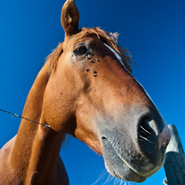 A horse...of course. by Dan Allard - Animals Horses ( farm, tn, blue sky, horse, tennessee, barbed wire, brown, equestrian, animal,  )