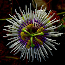 Passion flower by Govindarajan Raghavan - Flowers Flowers in the Wild (  )