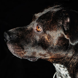 Desi  by Todd Reynolds - Animals - Dogs Portraits