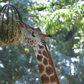 Lunch TIme For Giraffe  by Lorraine D.  Heaney - Animals Other Mammals
