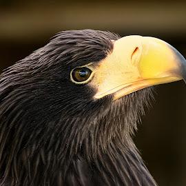 Steller by Gérard CHATENET - Animals Birds