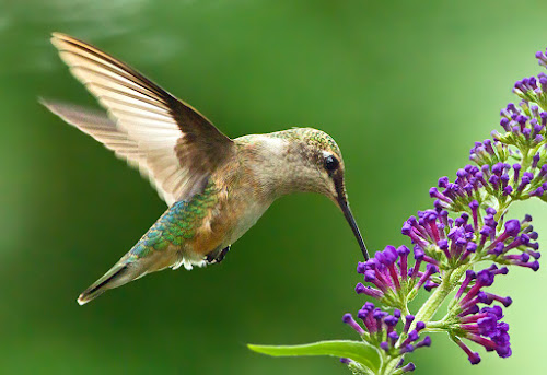 by Herb Houghton - Animals Birds ( ruby throated hummingbird, hummingbird, hummer )