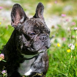 Flowers by Marcus Holmqvist - Animals - Dogs Portraits ( sweden, purple, green, hund, meadows, french bulldog, french, yellow, dalarna, perro, sunbathing, sun, bulldog, fransk, chien, meadow, dog, flowers, flower )