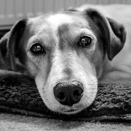 Pip take two! by Heather Ryder - Animals - Dogs Portraits ( resting, jack russell terrier, cushion, b & w, dog,  )