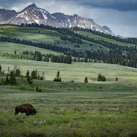 American Bison in Yellowstone by Scott Wood - Landscapes Mountains & Hills ( americana, buffalo, yellowstone, national park, sky, mountain, nature, america, bison, prarie, trees, scenic, culture )