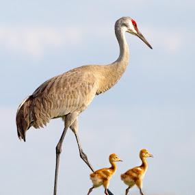 Walking to School by Jack Nevitt - Animals Birds