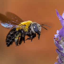 Carpenter Bee by Willem Nel - Animals Insects & Spiders ( macro, macrophotography, macro photography, bee, insects, insect, macro shot )
