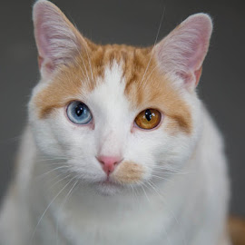 Milo by Michele Williams - Animals - Cats Portraits ( orange, cat, ginger, resue, blue, adopt, white, eyes )