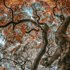 Winterthur Visitor Tree by Jim Salvas - Nature Up Close Trees & Bushes ( japanese maple, tree, foliage, fall, branches )