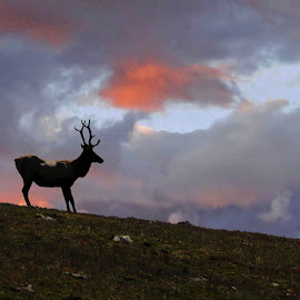 Dusk by Marko Ginsberg - Animals Other Mammals ( sunset, elk, bull )