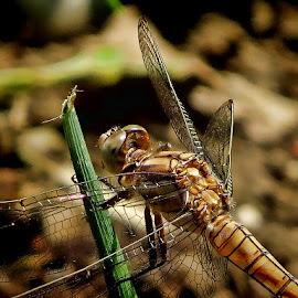 dragonfly 50 by Dunja Kolar - Animals Insects & Spiders ( dragonfly, maksimir, croatia, zagreb )