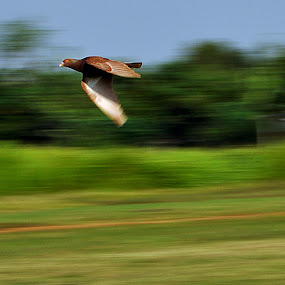Pigeon Race by Ridwan Handoyo - Animals Birds ( animals in motion, pwc76, birds, animal, motion )