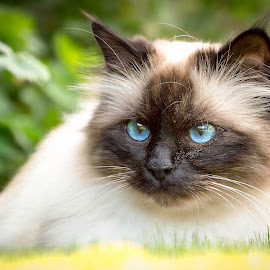 Saphir's blue eyes by Noa Nikita Heike Rödling - Animals - Cats Portraits ( cat portrait, cat face, cats, pet photography, blue eyes, pet )